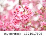 taiwan cherry blossoms in full... | Shutterstock . vector #1321017908