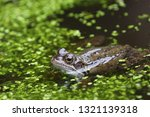 Common Frog In Man Made Pond