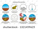 Amphibians Characteristics infographic diagram including living in water and land moist scaleless skin laying eggs cold blooded vertebrates gills lungs tail and leg for biology science education