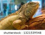 Photo Portrait Of Iguana Iguan...