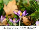 bees pollinate crocuses in...   Shutterstock . vector #1321587632