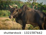 Small photo of Portrait Thai ox or bull stand in field that raise by folkway.