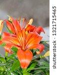 orange yellow lilies flowers ... | Shutterstock . vector #1321715465
