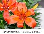 orange yellow lilies flowers ... | Shutterstock . vector #1321715468