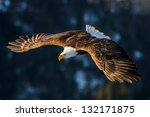 american bald eagle diving in flight against forested alaska mountain