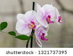 white and mauve orchid branch... | Shutterstock . vector #1321737395