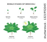 edible stages of broccoli...   Shutterstock .eps vector #1321952045