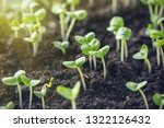basil sprouts have sprouted in... | Shutterstock . vector #1322126432