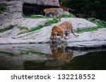 Indian Bengal Tiger Drinking...