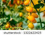 fresh ripe red tomatoes and the ... | Shutterstock . vector #1322622425