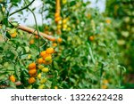 fresh ripe red tomatoes and the ... | Shutterstock . vector #1322622428