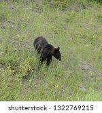 black bear in glacier national...   Shutterstock . vector #1322769215
