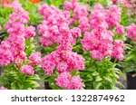 hoary stock or matthiola incana ... | Shutterstock . vector #1322874962