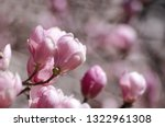 beautiful magnolia tree... | Shutterstock . vector #1322961308