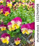colorful spring pansy viola... | Shutterstock . vector #1322964908