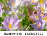bees pollinate crocuses. close...   Shutterstock . vector #1323016922