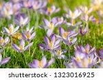 bees pollinate crocuses. close...   Shutterstock . vector #1323016925