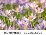 bees pollinate crocuses. close...   Shutterstock . vector #1323016928