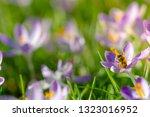 bees pollinate crocuses. close...   Shutterstock . vector #1323016952