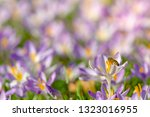 bees pollinate crocuses. close...   Shutterstock . vector #1323016955