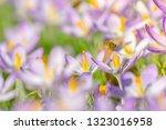bees pollinate crocuses. close...   Shutterstock . vector #1323016958