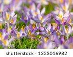 bees pollinate crocuses. close...   Shutterstock . vector #1323016982