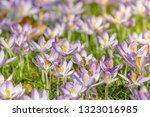bees pollinate crocuses. close...   Shutterstock . vector #1323016985