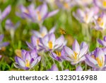 bees pollinate crocuses. close...   Shutterstock . vector #1323016988