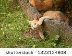 red little kitten playing in... | Shutterstock . vector #1323124808