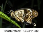 Small photo of Papilio dardanus (the African Swallowtail, Mocker Swallowtail or Flying Handkerchief), is a species of butterfly in the family Papilionidae