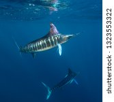 Striped marlin during the season they hunt sardines and other bait fish off the Pacific coast of Baja California, Mexico.