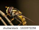 hover fly  flower fly  or... | Shutterstock . vector #1323572258