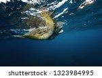 hawksbill turtle floating in... | Shutterstock . vector #1323984995