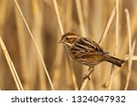 a female reed bunting  emberiza ... | Shutterstock . vector #1324047932