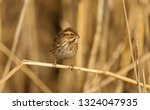 a female reed bunting  emberiza ... | Shutterstock . vector #1324047935