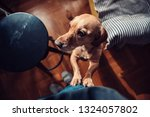 small yellow dog standing on... | Shutterstock . vector #1324057802