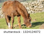 Brown and white Horse grazing in a field with limestone walls,Summerbridge,Nidderdale,North Yorkshire,England.