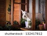 White Schnauzer Dog In Interior