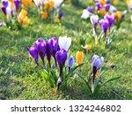 spring crocus  crocus vernus ...   Shutterstock . vector #1324246802