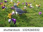 wood pigeon  columba palumbus ...   Shutterstock . vector #1324260332