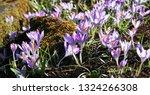 pink crocus tommasinianus  a...   Shutterstock . vector #1324266308