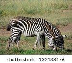 Zebras In Amboseli Park  Kenya...