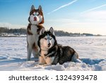 Couple Siberian Husky Dogs On...