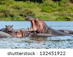 Hippopotamus With Open Mouth ...