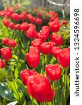 a group of red tulips near the... | Shutterstock . vector #1324596698