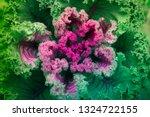 Close Up Cauliflower Leaves ...