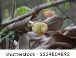 cardiospermum halicacabum ... | Shutterstock . vector #1324804892