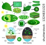 biological photosynthesis... | Shutterstock .eps vector #1324831325