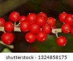 Ripe Yaupon Holly Berries  Ile...
