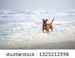 Adorable Smiling Boxer Mix Puppy Playing in Sea Foam Hanna Park Florida